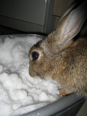 Snow Rabbit 1