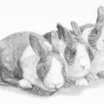 Dutch Rabbit Drawing