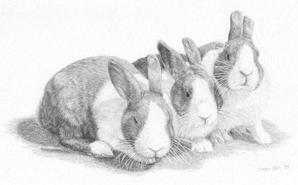 Dutch Rabbit Drawing