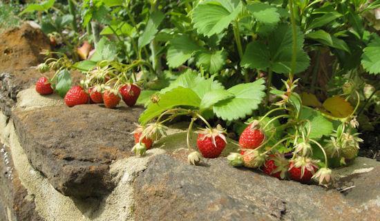 cambridge favourite strawberries