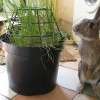 rabbit eating grass from pot