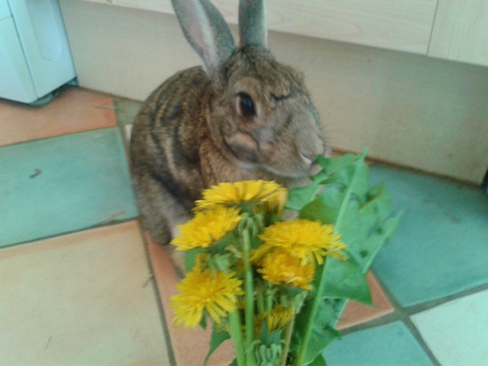 Scamp (the reason I had trouble finding dandelions to photograph).