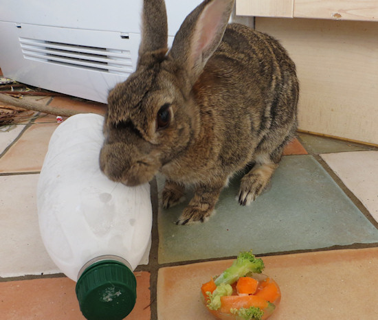 frozen water bottle rabbit