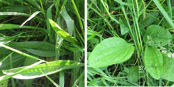 plantain types
