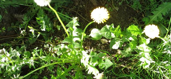 forage dandelion