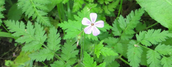 forage herb robert
