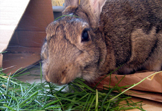 Fresh grass makes a great addition to a rabbit's diet